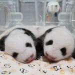 上野動物園・パンダの赤ちゃんの名前発表『シャオシャオ』と『レイレイ』